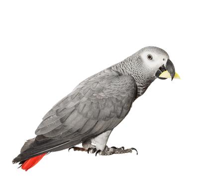 chordates: Gray parrot Jaco on a white background