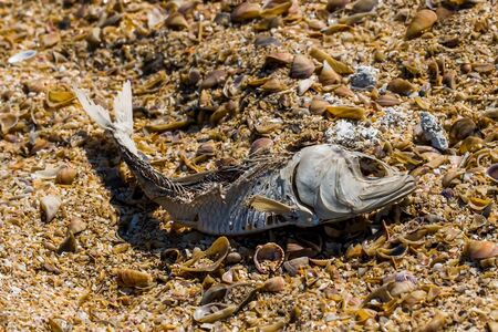 The remains of dead fish on the beach, close-up.
