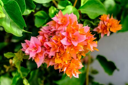 Flowering bush close-up.