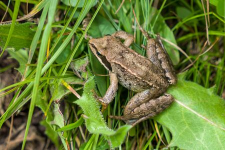 Brown frog sitting in the grass, close-up. Stock Photo