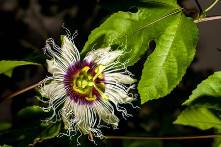 Passiflora creeper flower (passion fruit).