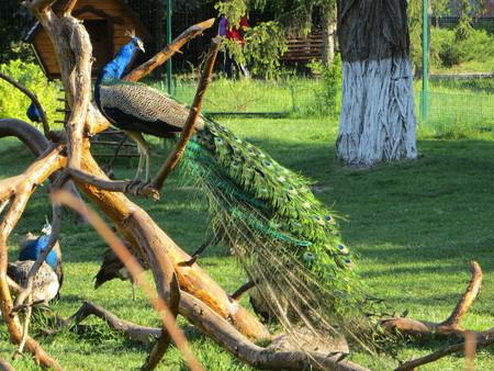 peahen: peacocks