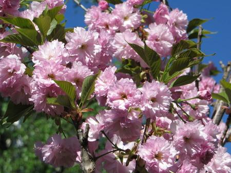 pink louiseania