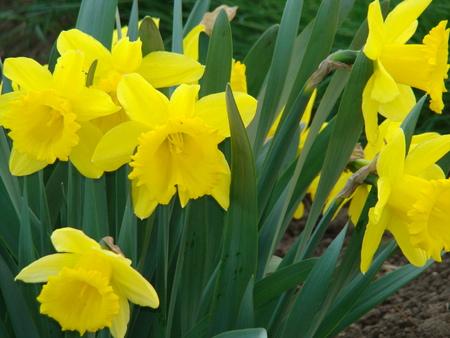 daffodils: daffodils