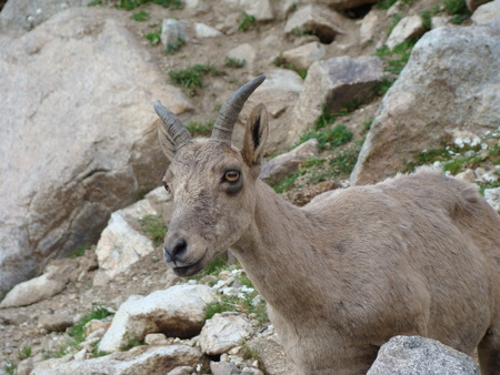 mount evans: mountain goat
