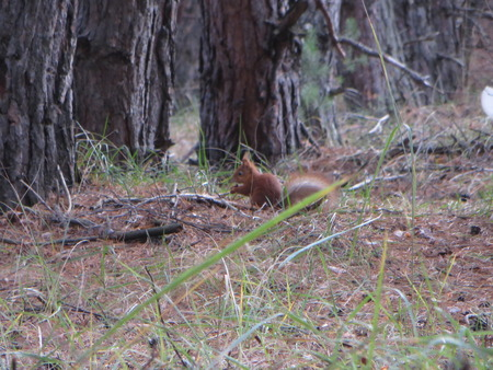 fluffy tuft: squirrel on the tree