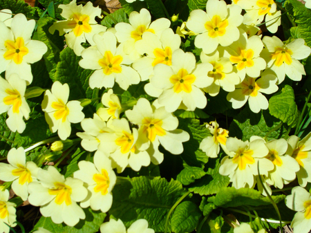 officinal: Primrose, Primula vulgaris Stock Photo