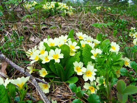 vulgaris: Primrose, Primula vulgaris Stock Photo