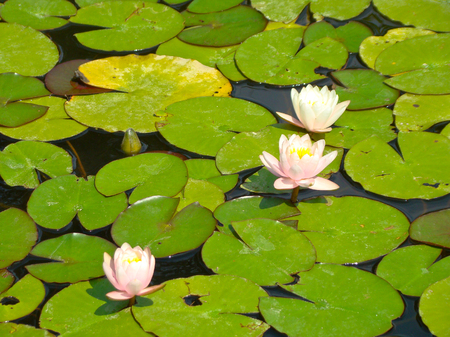 waterlily: Waterlily