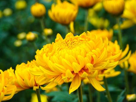 chrysanthemum 写真素材