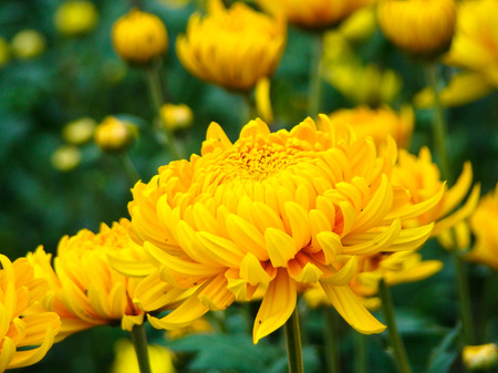 chrysanthemum Archivio Fotografico