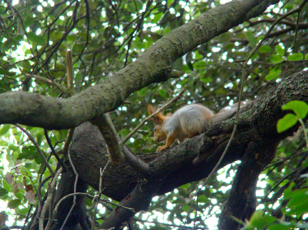 fluffy tuft: squirrel on a tree Stock Photo