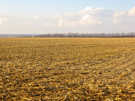 stubble: Field with the stubble on early spring