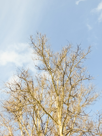 poplar: Poplar and the sky