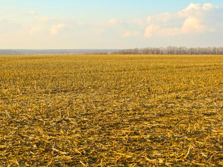 cosecha de trigo: Campo con la barba en la primavera temprana Foto de archivo
