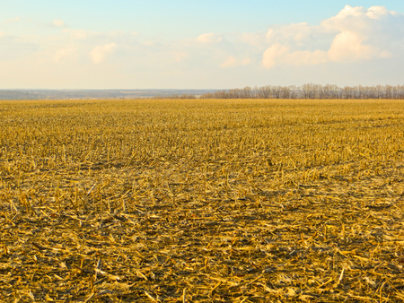 crop: Field with the stubble on early spring