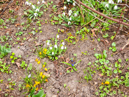 snowdrops: Snowdrops on early spring Stock Photo