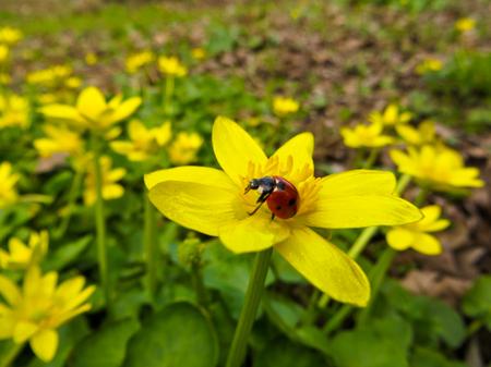 palustris: Marsh Marigold (Caltha palustris) on spring