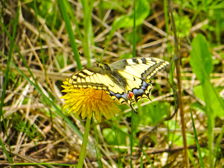 machaon: Swallowtail (Papilio machaon) on a yellow dandelion