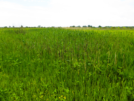 reed: Green reed