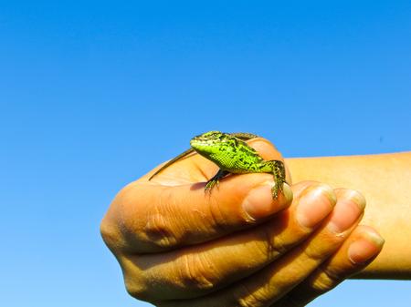 lacerta: Little green lizard in the hand