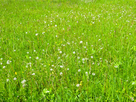 fluffy dandelions on a meadow Stock Photo