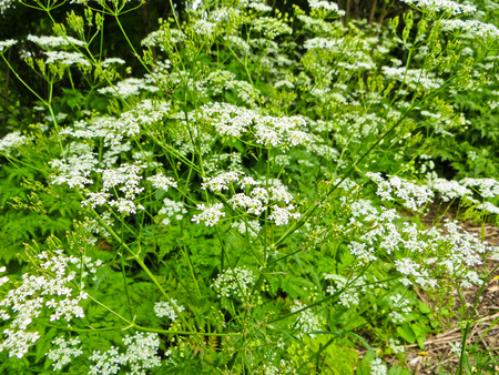 cicuta: weed plant hemlock blossoming in the garden