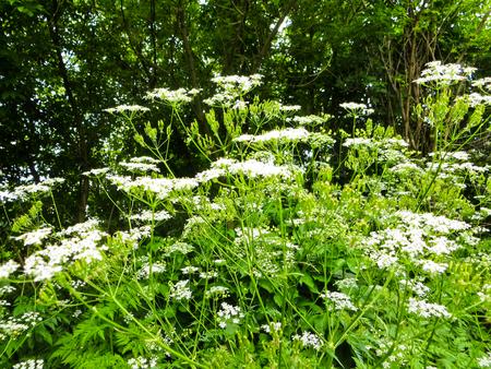 cicuta: planta de cicuta de malezas en flor en el jardín Foto de archivo