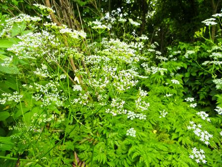 hemlock: planta de cicuta de malezas en flor en el jardín Foto de archivo