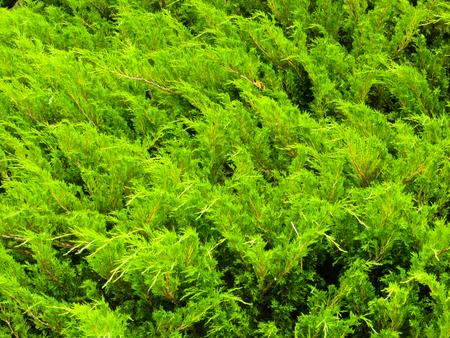 juniper: Juniper bushes in a park