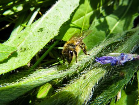 nectar: Bee collecting nectar