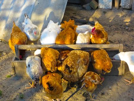 farmyard: Hens pecking grain from feeding trough on a farmyard Stock Photo