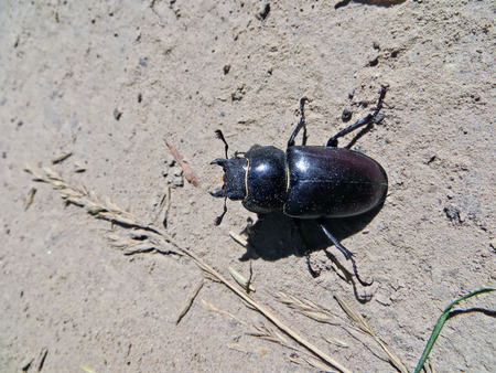 cervus: Female of the common stag beetle (Lucanus cervus) Stock Photo