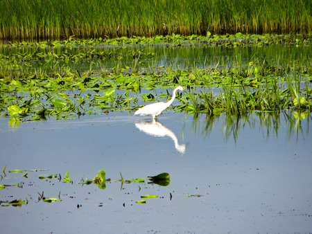 gray herons: Great Egret (Ardea alba) in a marsh