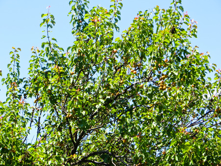 apricot tree: Apricot tree with fruits Stock Photo