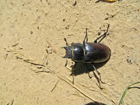 entomological: Female of the common stag beetle (Lucanus cervus) Stock Photo