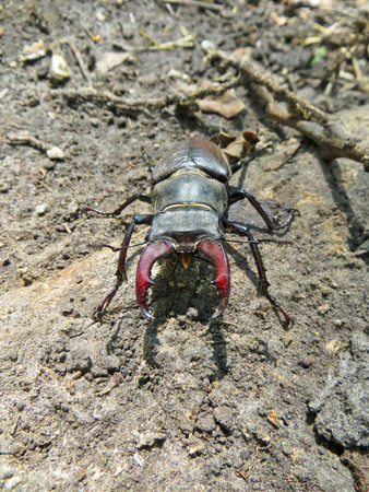 lucanus: Common stag beetle (Lucanus cervus)