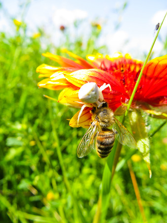 crab spider: Crab Spider eating a bee on a flower