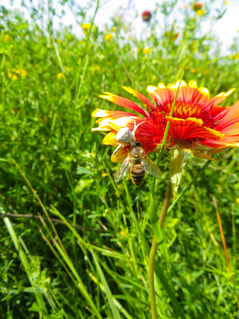 paralyze: Crab Spider eating a bee on a flower