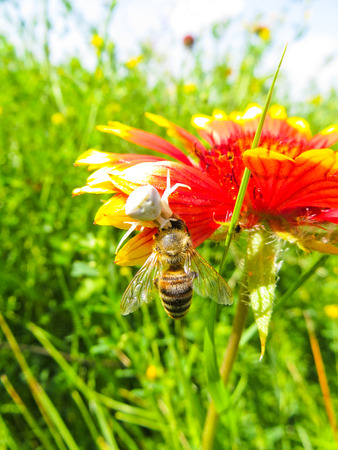 flower  crab  spider: Crab Spider eating a bee on a flower