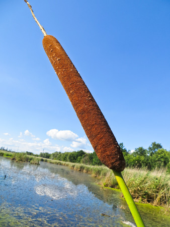 bulrush: Common bulrush (Typha latifolia) Stock Photo