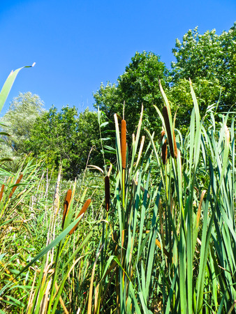 Common bulrush (Typha latifolia) Stock Photo