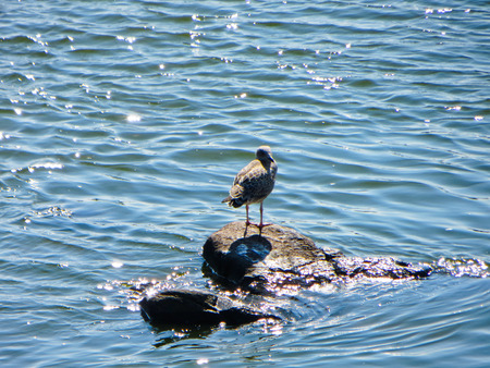 mew: Gull standing on a stone