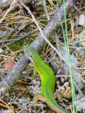 Green lizard in the forest