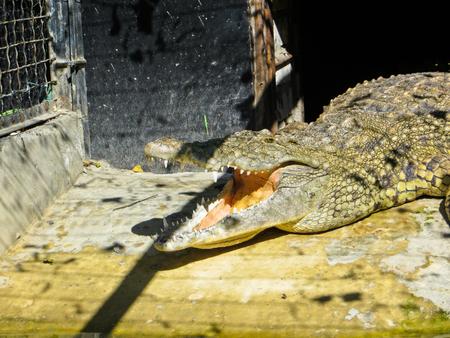 vivarium: Crocodile