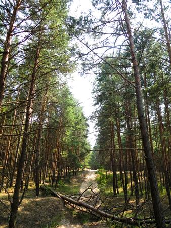 across: The pine tree has fallen across the road Stock Photo