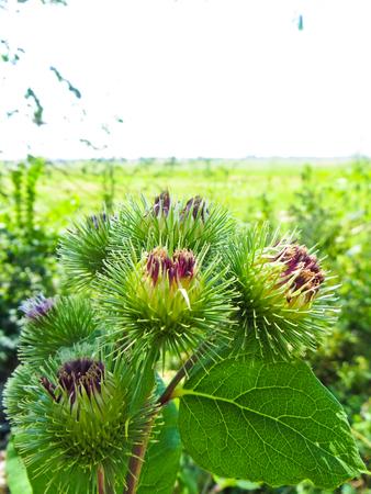 Bush of burdock plant