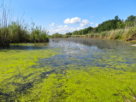 Green algae on a surface of the lake