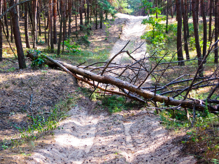 The pine tree has fallen across the road Archivio Fotografico