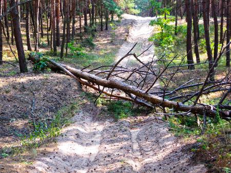lies down: The pine tree has fallen across the road Stock Photo